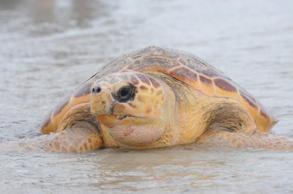RGV Helps Sea Turtles